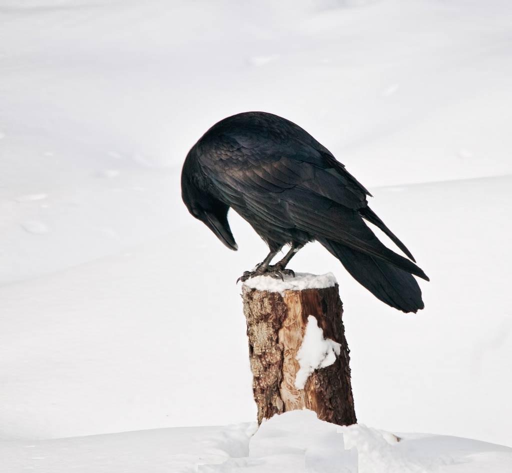 cuervo-nieve-celda